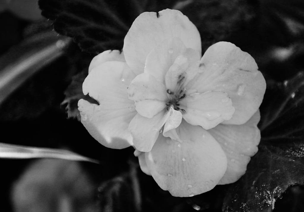 Begonia in mono