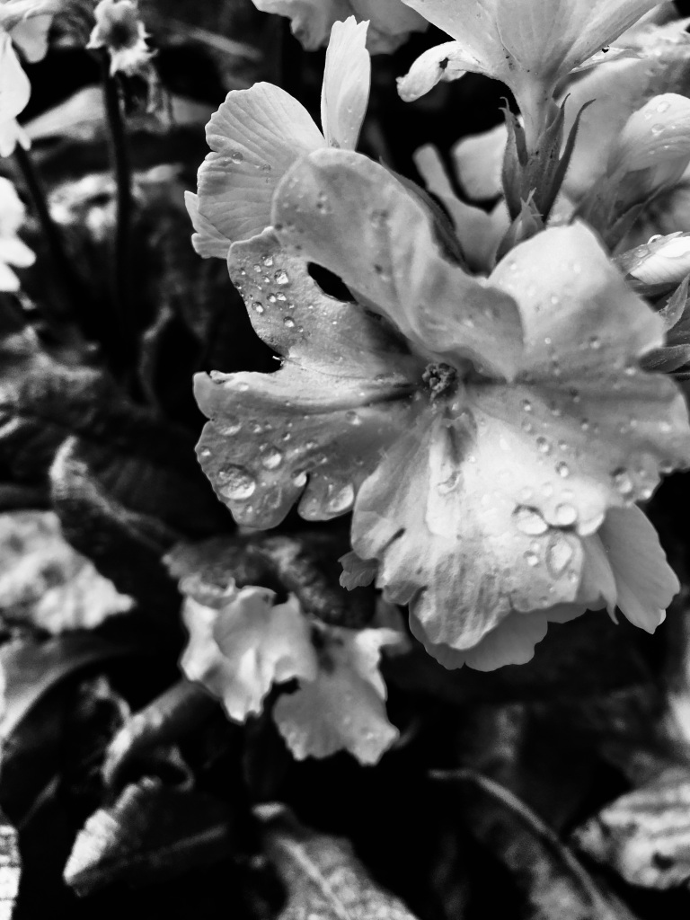 White primrose in noir