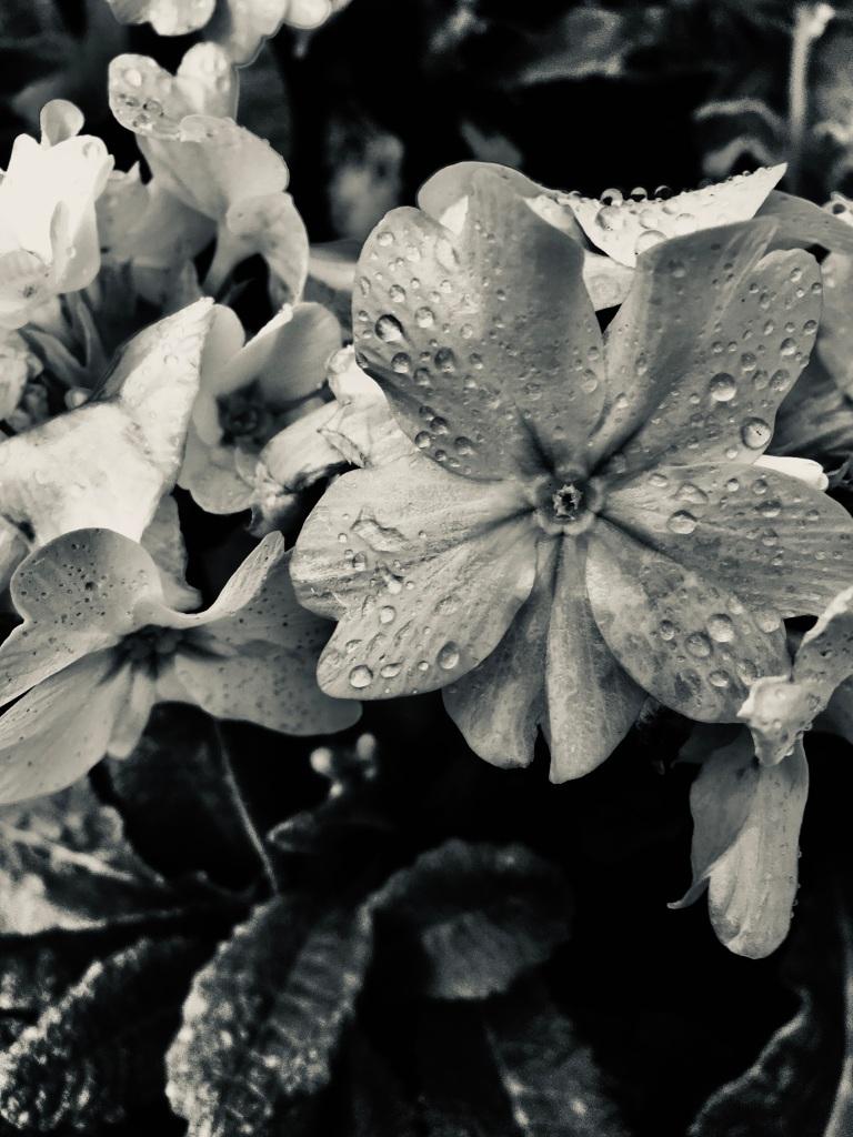 White primrose in silvertone by Jez Braithwaite