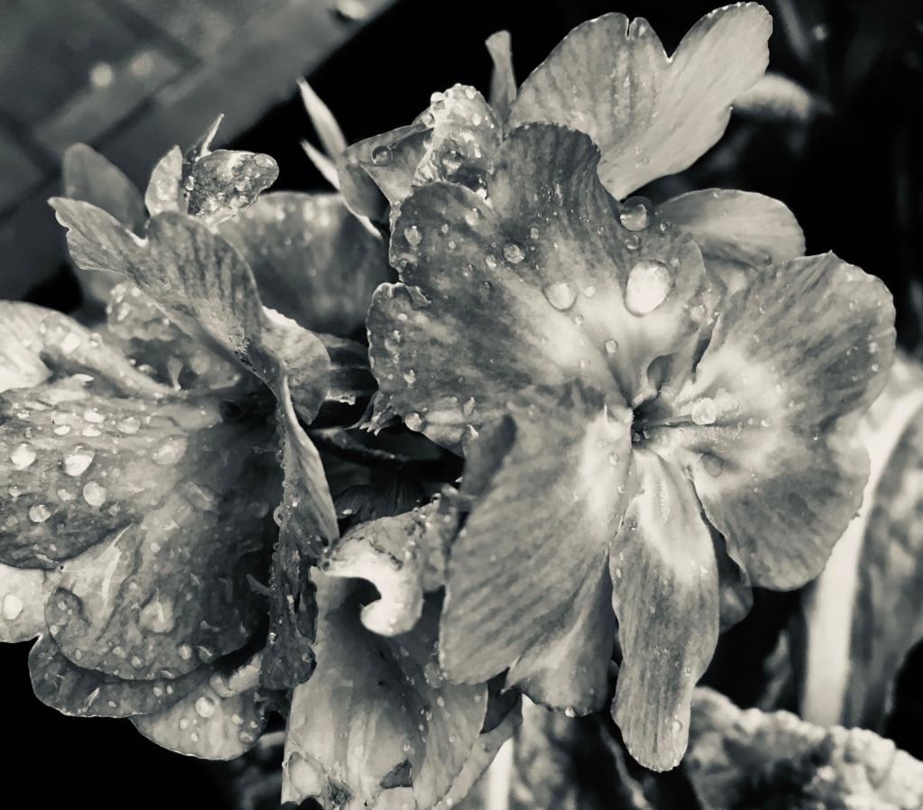 Primrose in silvertone