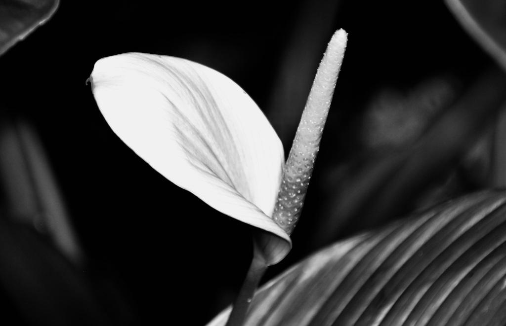 Anthurium in noir by Jez Braithwaite