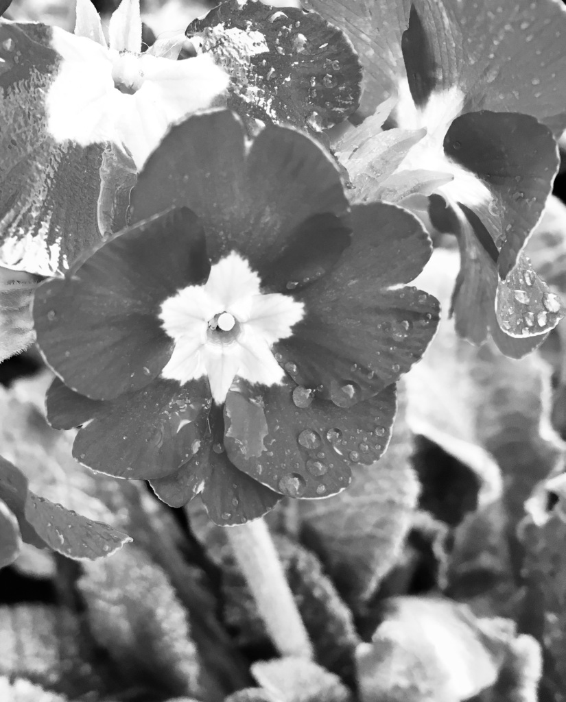 Primrose in noir by Jez Braithwaite
