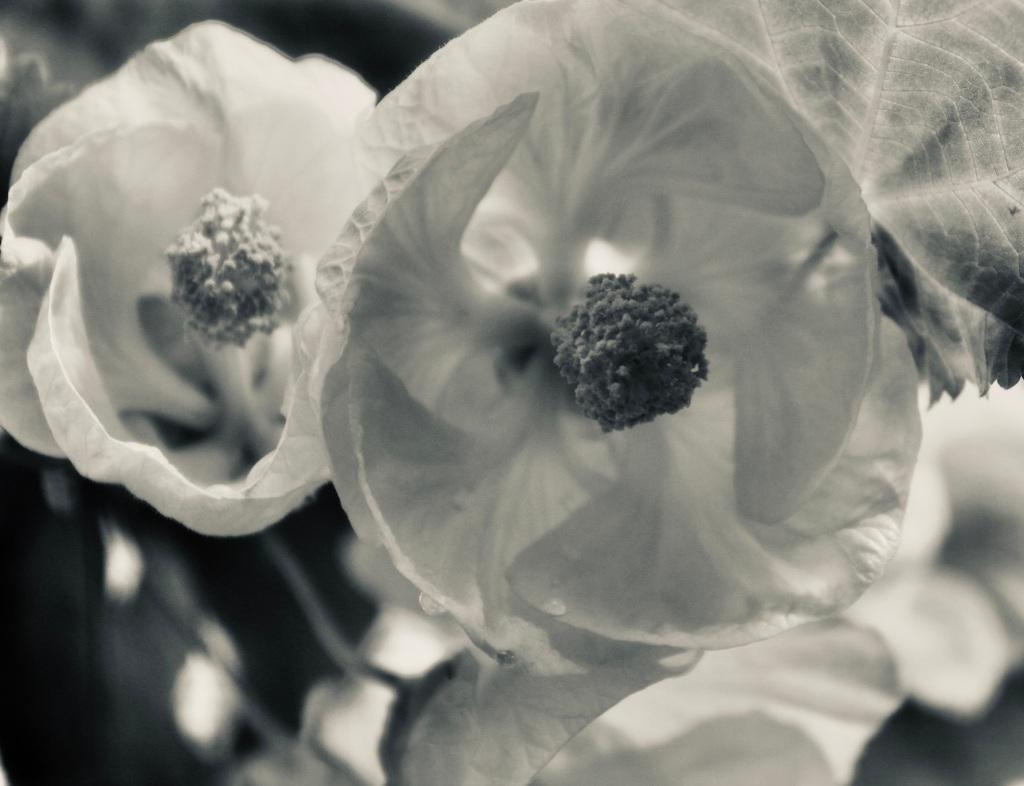 Begonia in silvertone