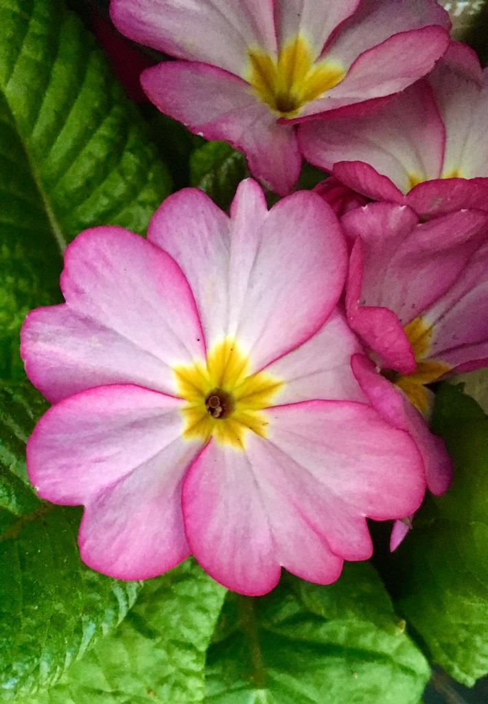 Pink Polyanthus