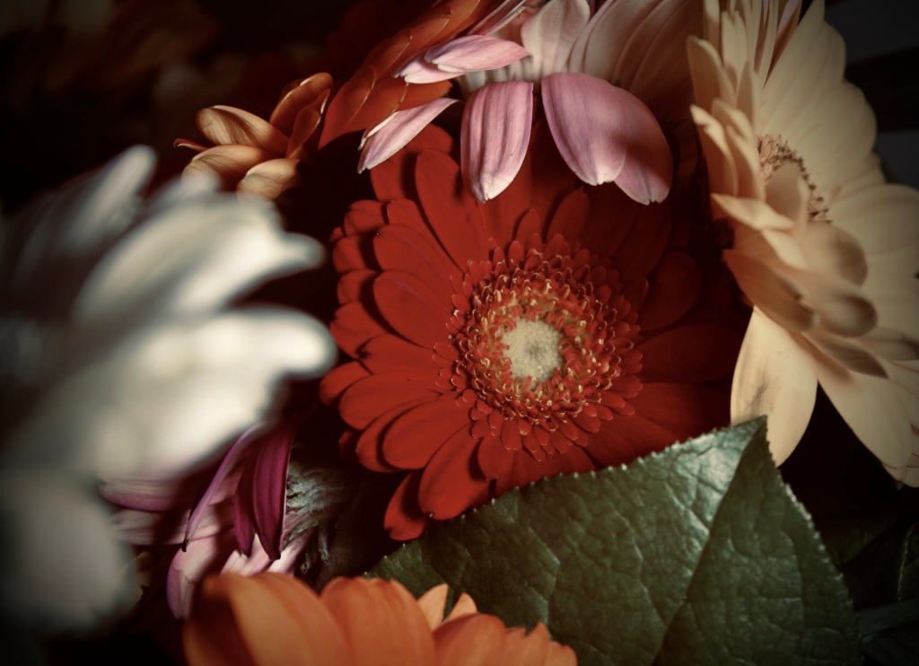 Red gerbera with dramatic warm filter