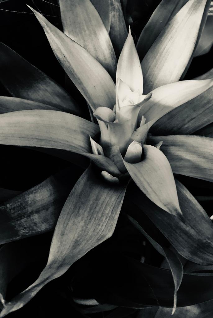 Bromeliad in silvertone