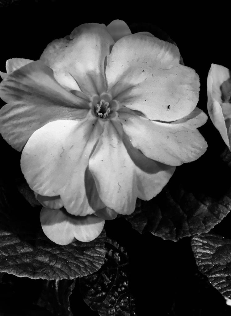 Primrose in noir