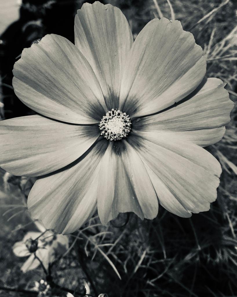 Garden cosmos in silvertone