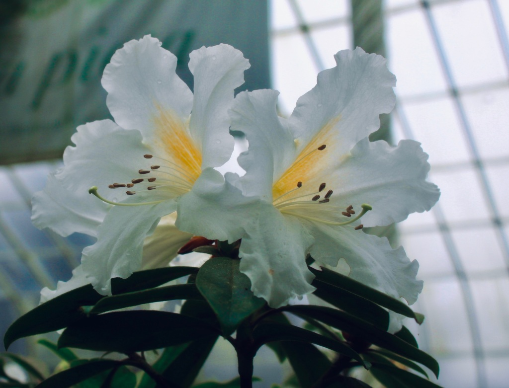 White rhododendron with dramatic cool filter
