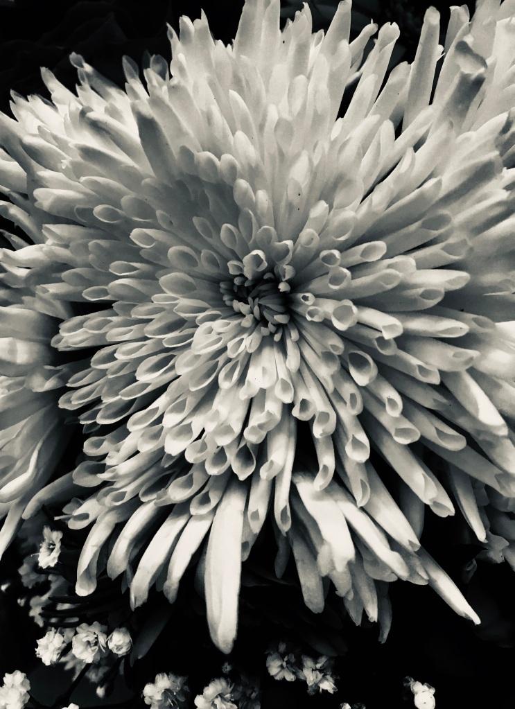 Dahlia in silvertone