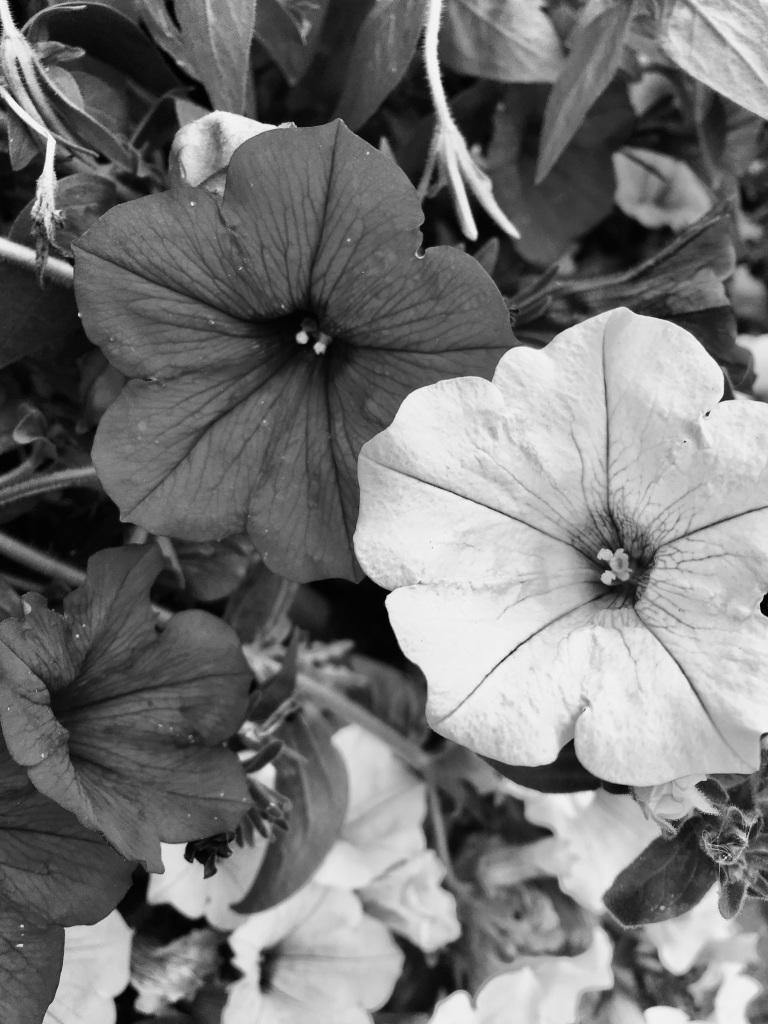 Petunias in mono