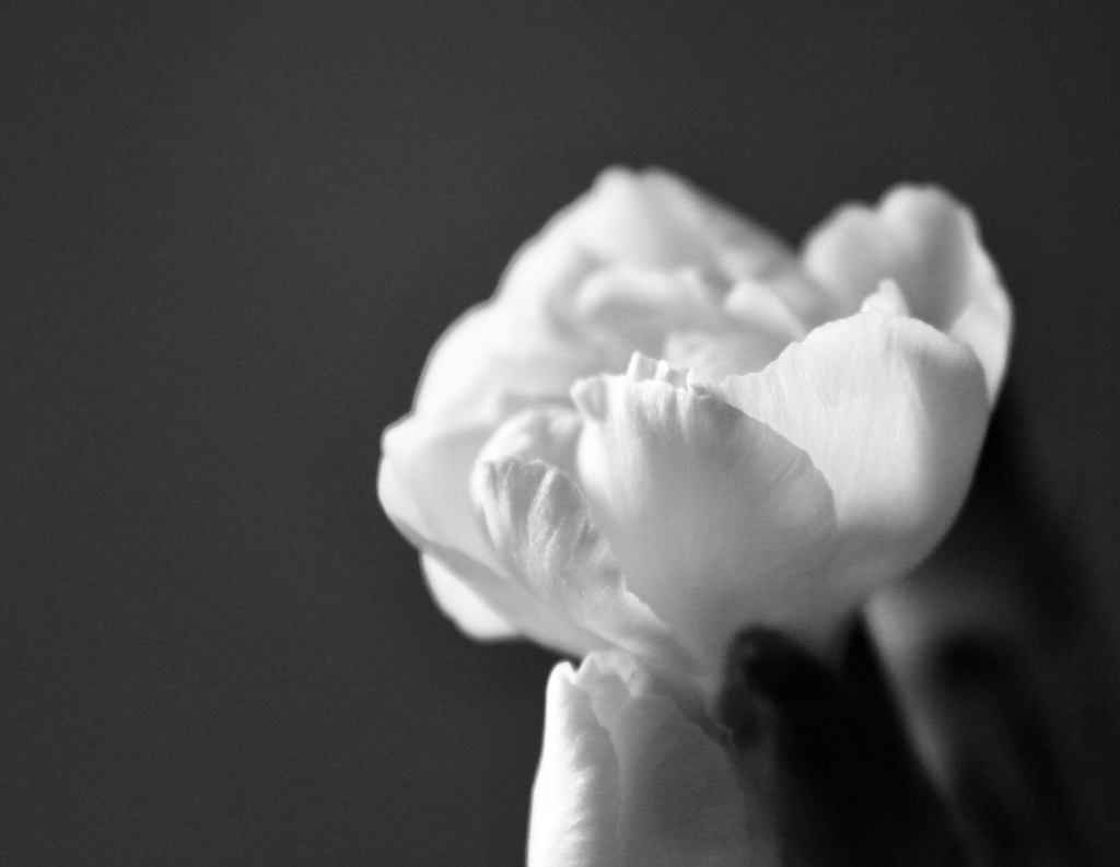 White carnation in noir