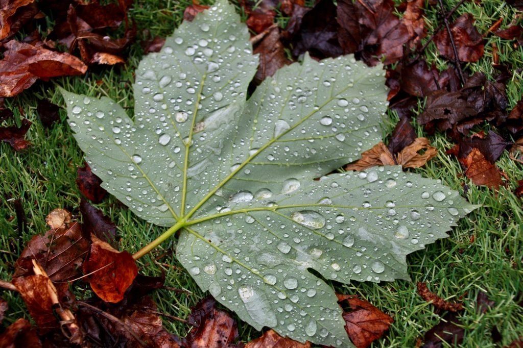 Water droplets on fallen leaf