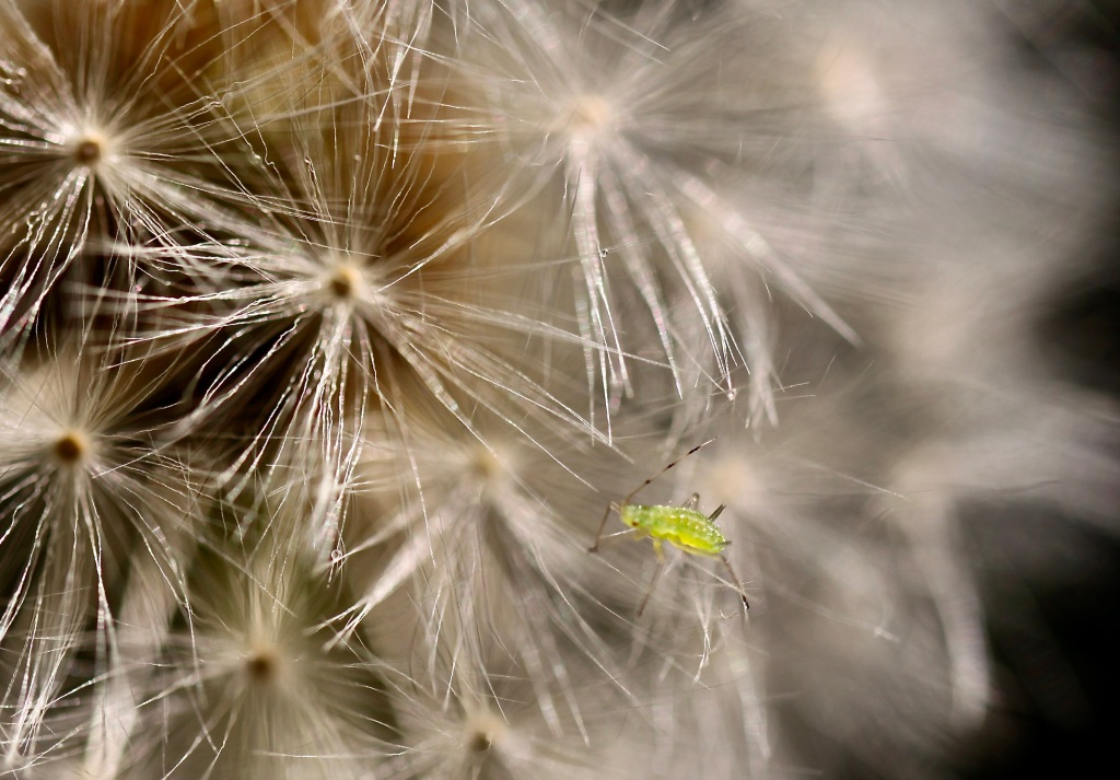 Aphid on a wish