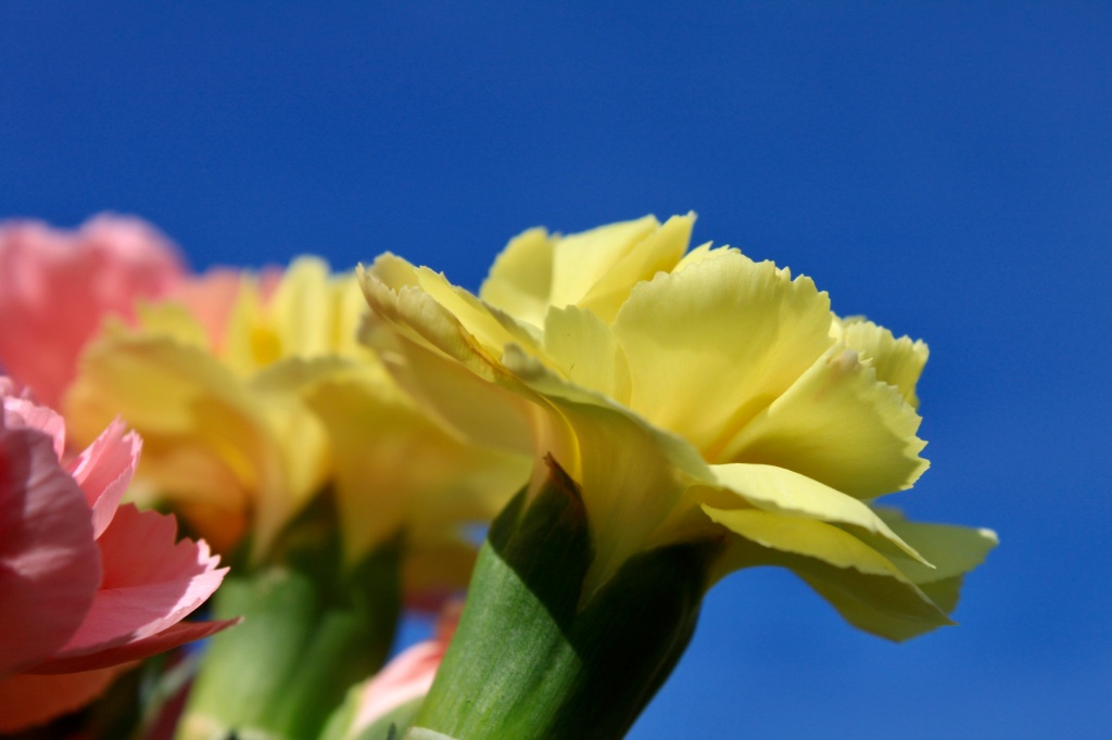 Bright yellow carnation