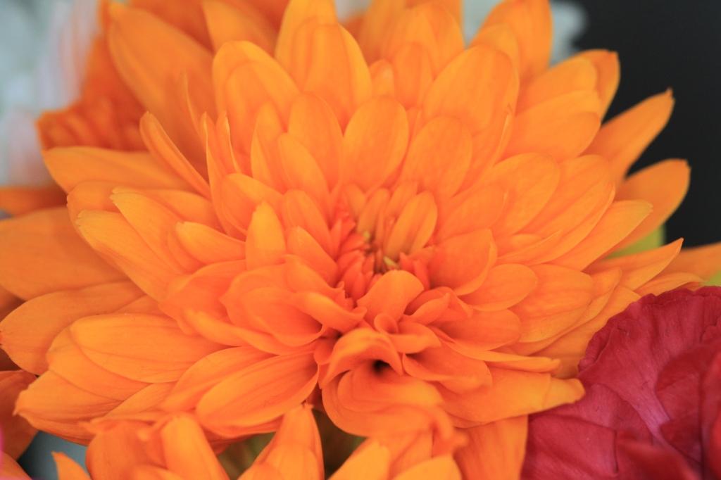 Dyed chrysanths