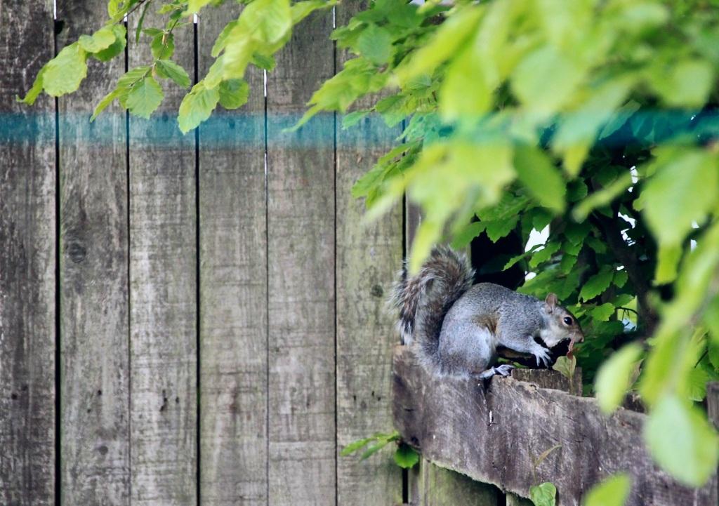 Squirrel eating avacado