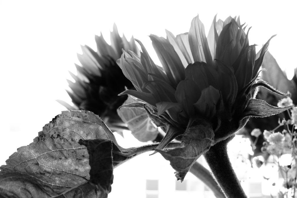 Back lit sunflower