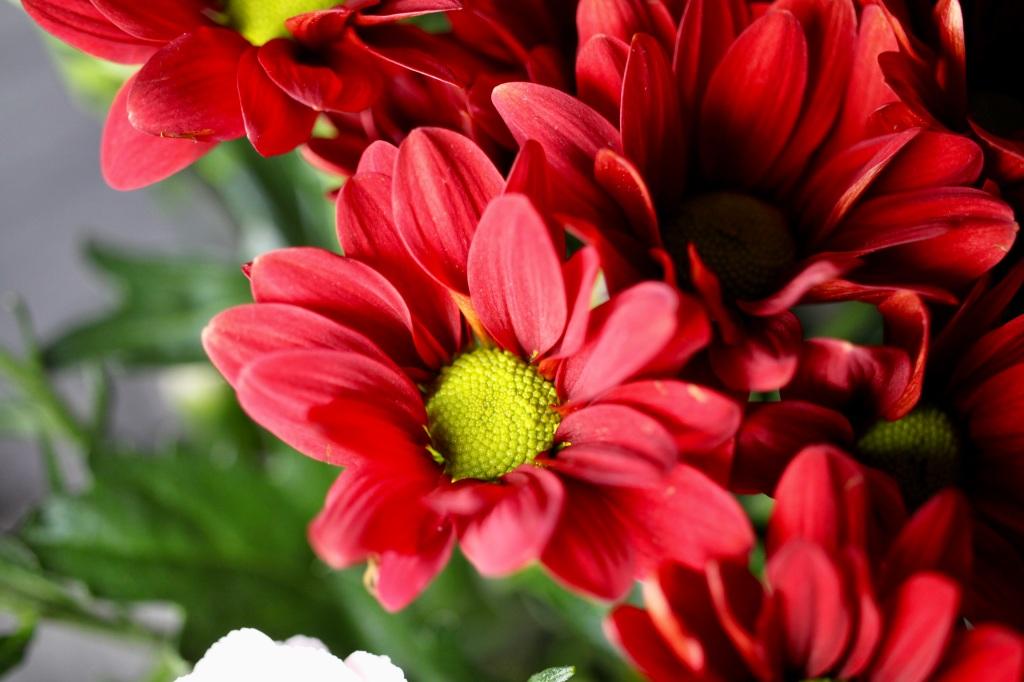 Red chrysanth