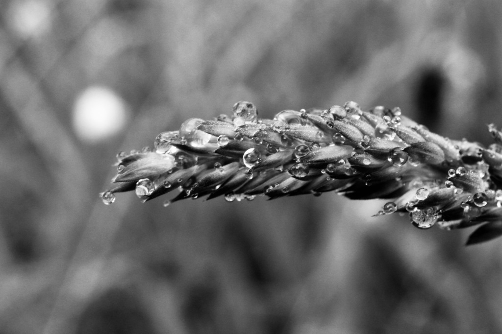 Water droplets on yellow oat grass seeds