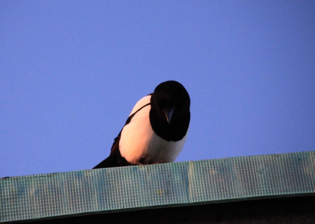 Nosy magpie