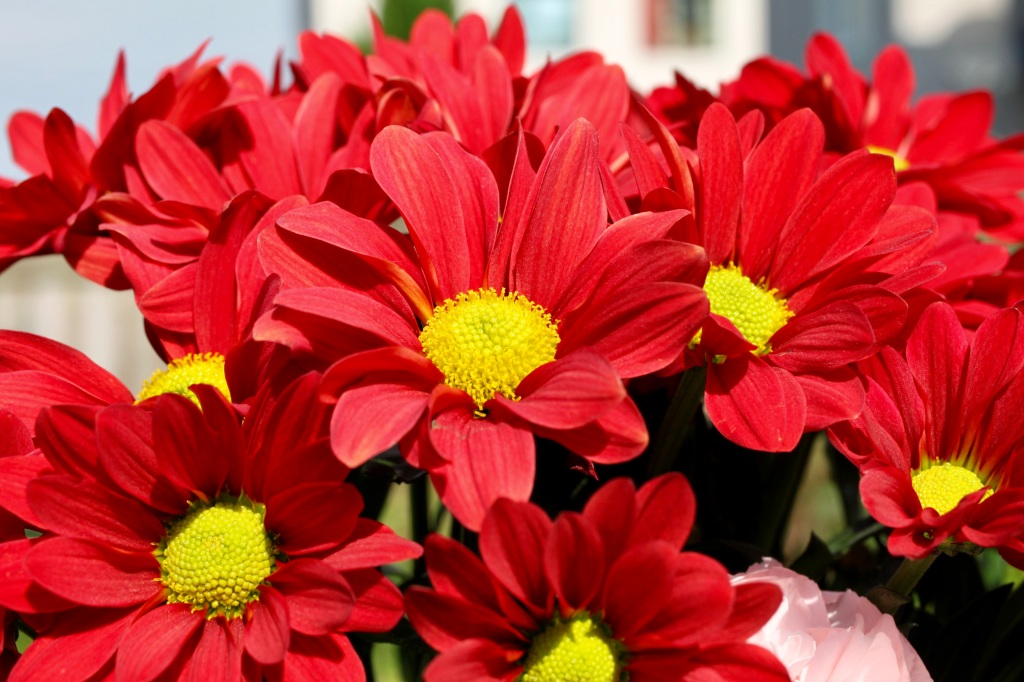 Red Chrysanths